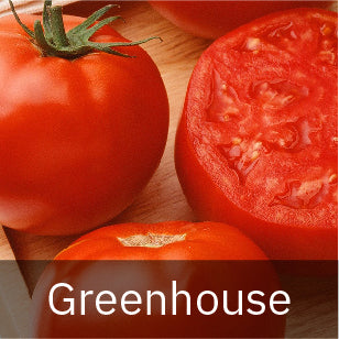 Tomatoes - Greenhouse