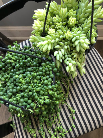 String of Pearls and Burros Tail Succulents