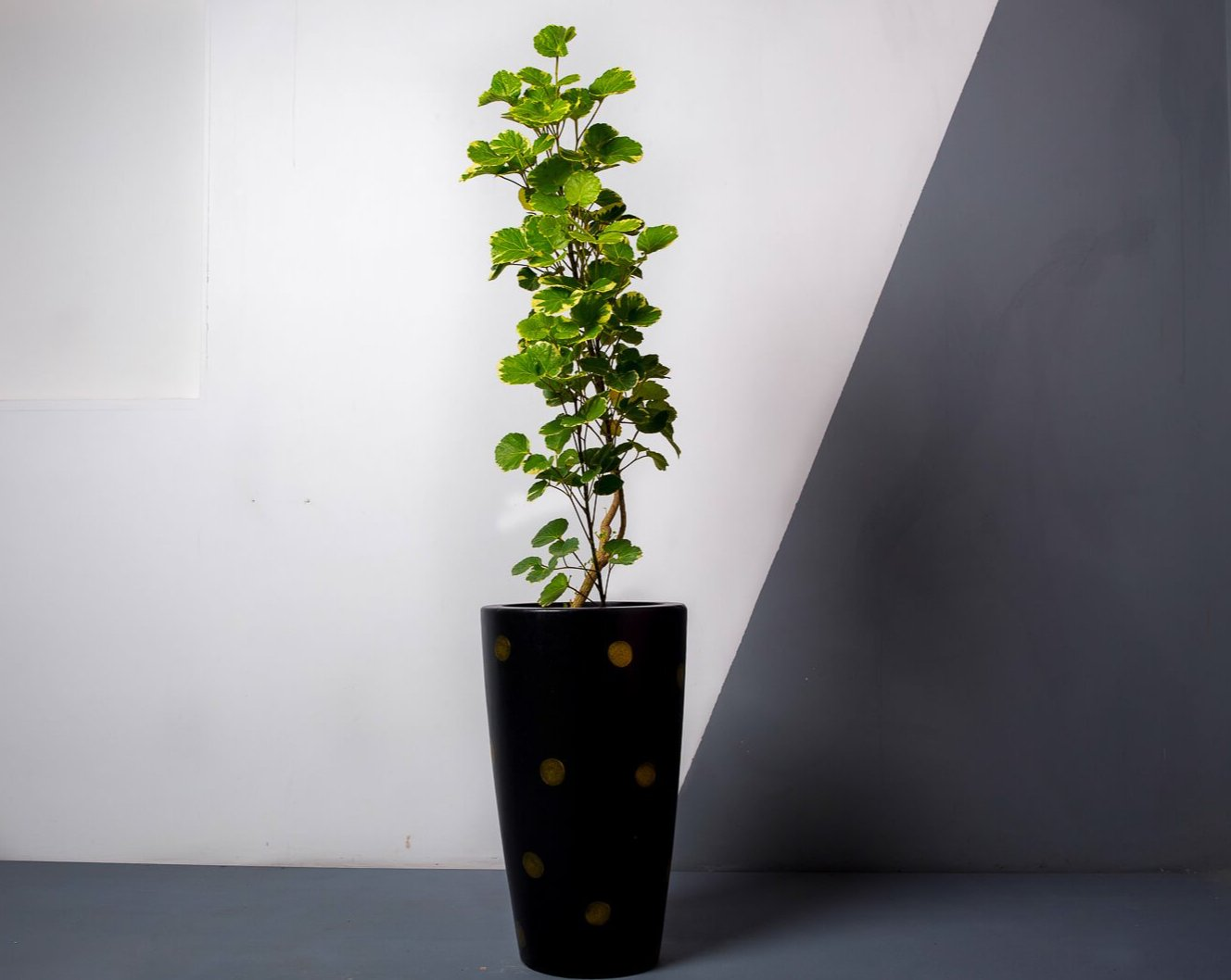 Concrete Umbra Planter Black/Gold Polka -  Handpainted Collection-Eliteearth