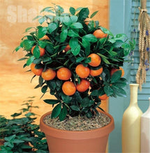 Load image into Gallery viewer, Orange Seeds Climbing Orange Tree Seed Bonsai Organic Fruit Seeds Like Christmas Tree Pot for Home Garden Plant(Quantity:50pcs)