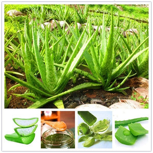 100 Pcs Aloe Vera Plant Herbal Succulent Seed Bonsai