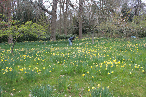 Collecting daffodils at Doddington Place Gardens for natural dye by Juniper & Bliss