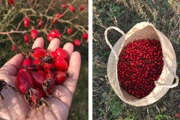 Red rose hips in a basket and foraged rose hips .
