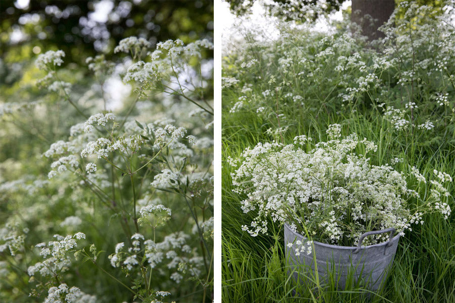 Cow parsley in the field being collected for natural dyed textiles for the Juniper & Bliss studio. We use this for sustainable fashion pieces such as hand woven scarves, velvet cushion covers and eco friendly items for the home.