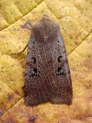 Black Spotted chestnut moth