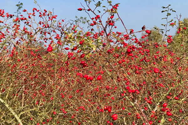 Forest of rose hips against a blue sky