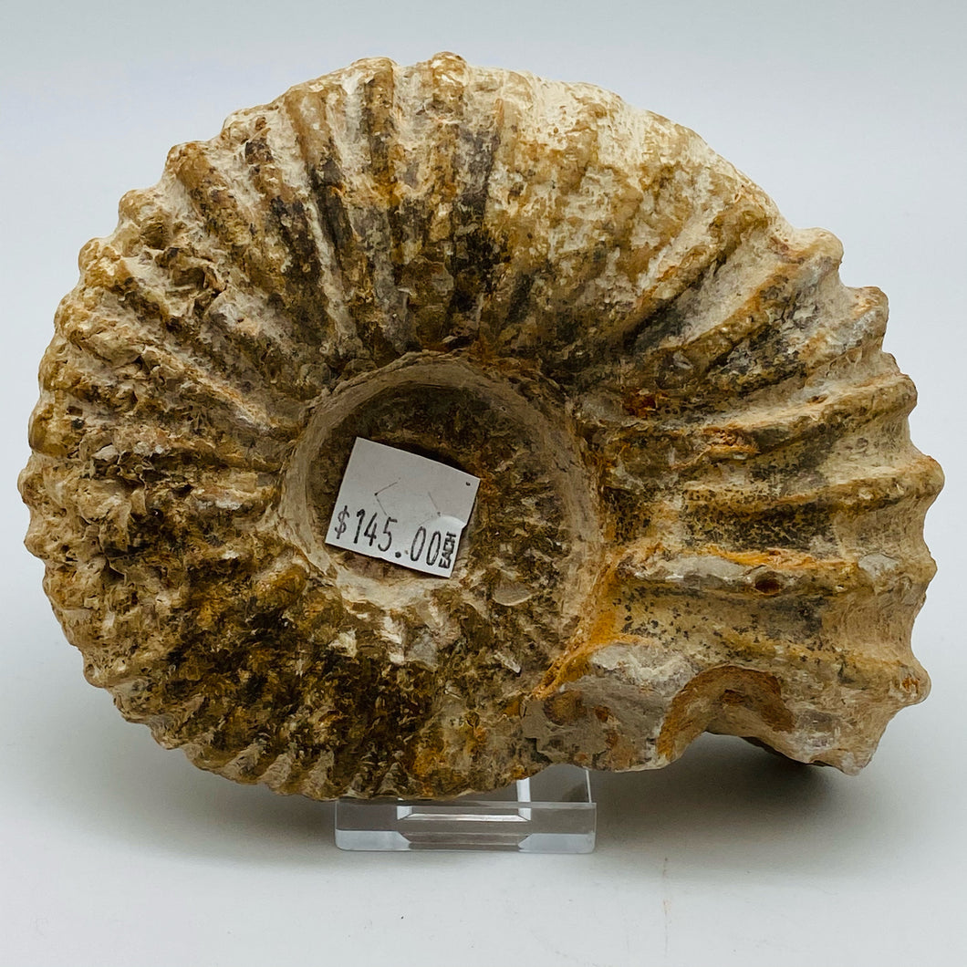 Fossilized Ammonite