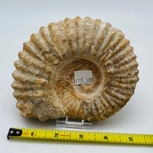 Load image into Gallery viewer, Fossilized Ammonite