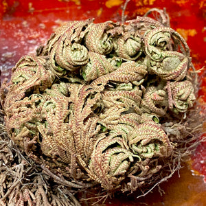 Rose of Jericho Resurrection Plant X-Lg size