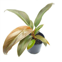 Load image into Gallery viewer, [Best Selling Healthy Indoor Plants & Plants Accessories Online]-Leaf & Co Studio