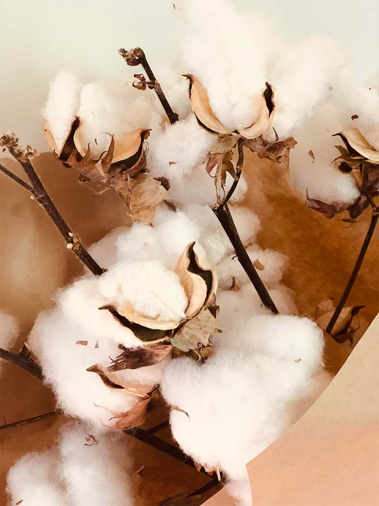 Dried cotton stems