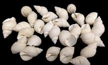 Load image into Gallery viewer, Babylonia Zeylandica Shell (White)