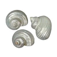 Polished Silver Mouth Turbo Hermit Crab Shells - Turbo Argyrostomus 26-28mm opening size
