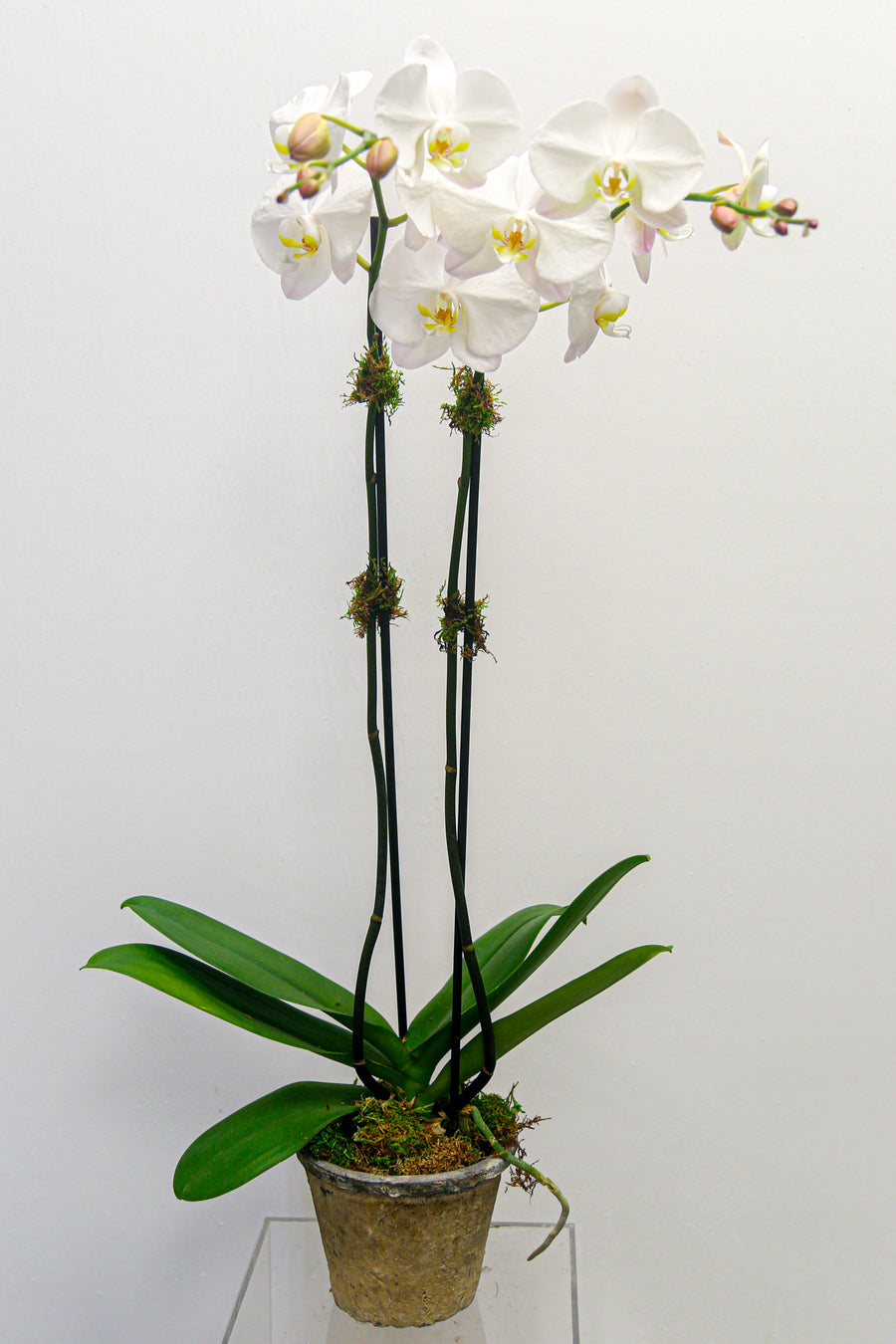 Double Stem Phalaenopsis Orchid | Local Plants - Lizzie Bee's Flower Shoppe