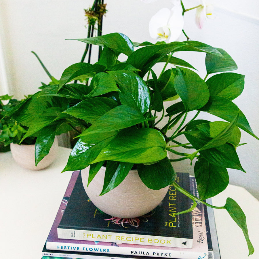 The Pothos | Green Plant - Lizzie Bee's Flower Shoppe