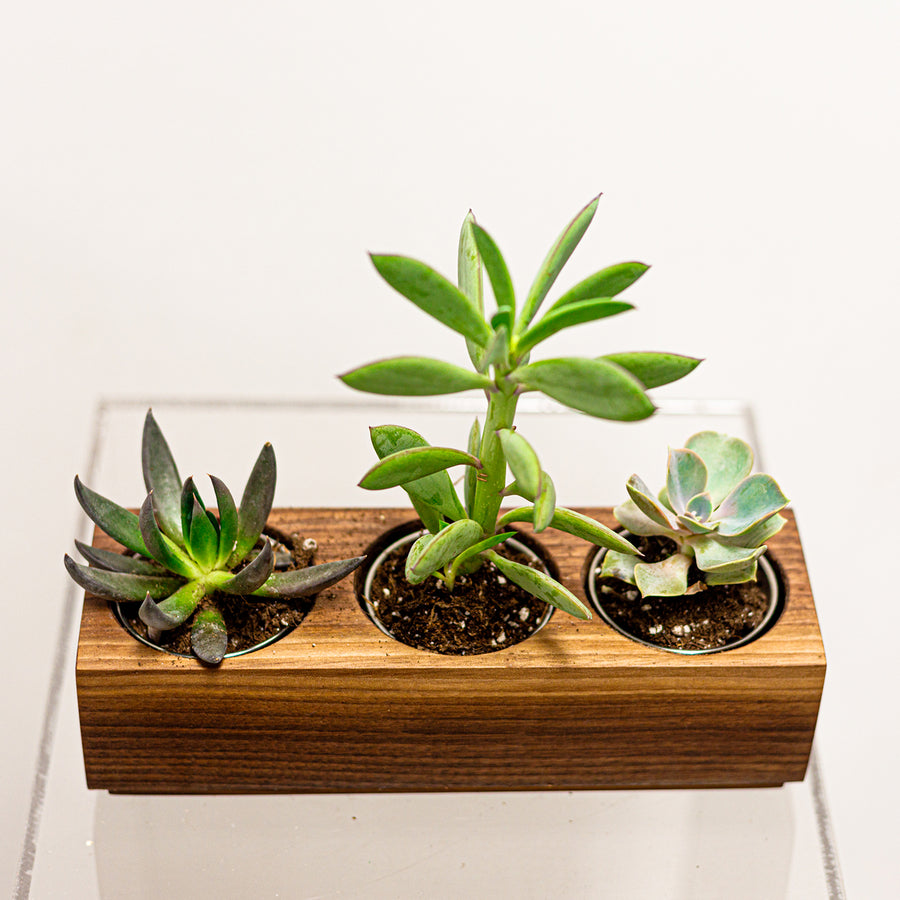 Succulent Walnut Handmade Planter | Local Plants - Lizzie Bee's Flower Shoppe