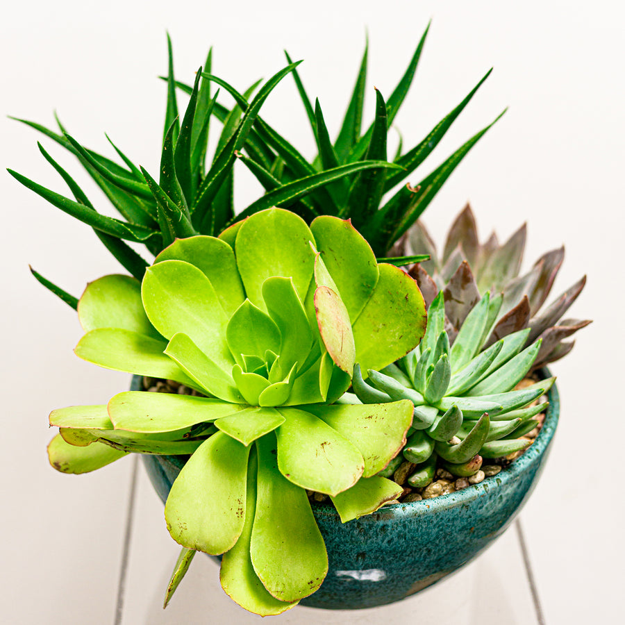Succulent Dish Garden | Local Plants - Lizzie Bee's Flower Shoppe