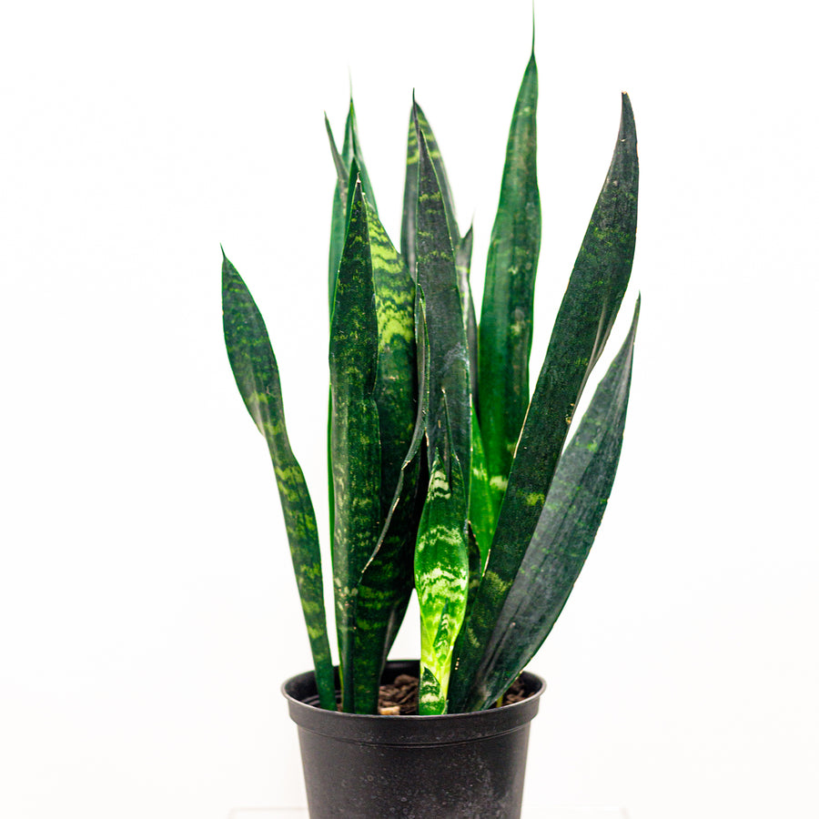 The Sanseveria | Local Plants - Lizzie Bee's Flower Shoppe