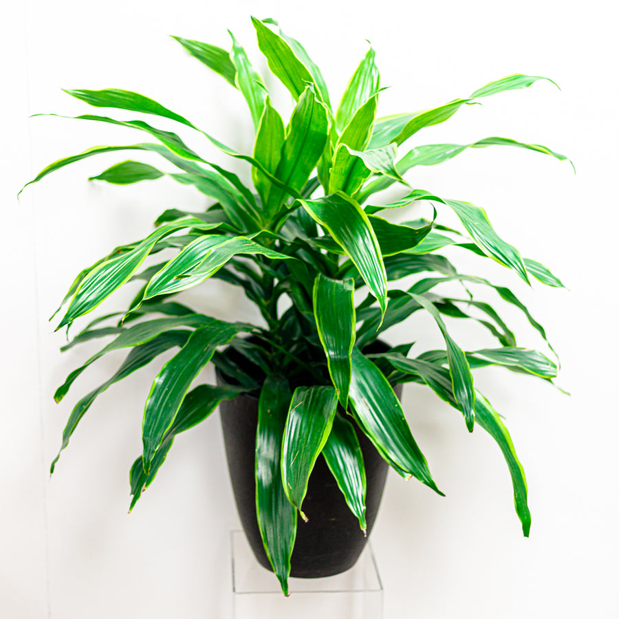 The Dracena Carmen | Green Plant - Lizzie Bee's Flower Shoppe