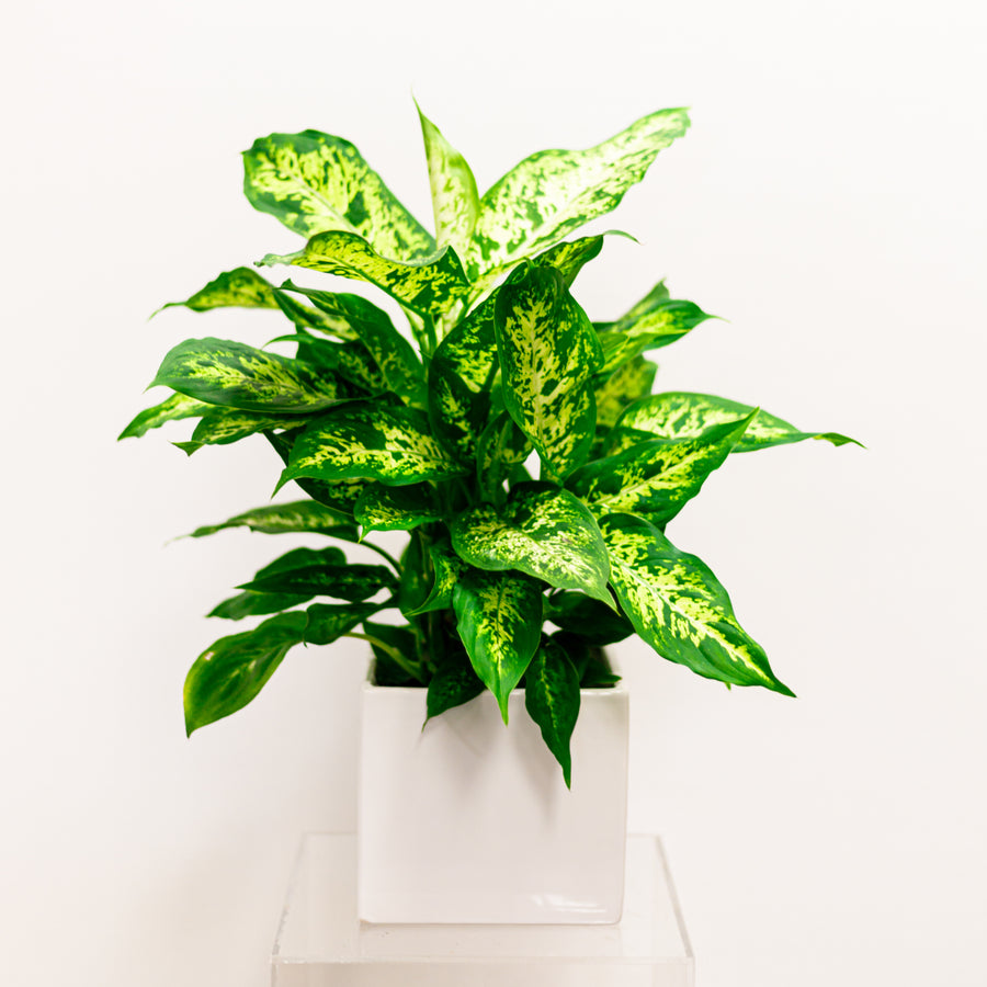 The Dieffenbachia | Local Plants - Lizzie Bee's Flower Shoppe