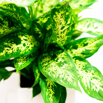 The Dieffenbachia | Green Plant - Lizzie Bee's Flower Shoppe