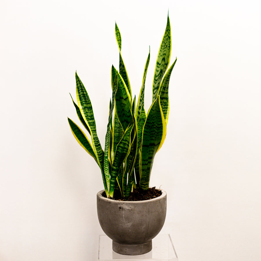 The Sanseveria | Green Plant - Lizzie Bee's Flower Shoppe