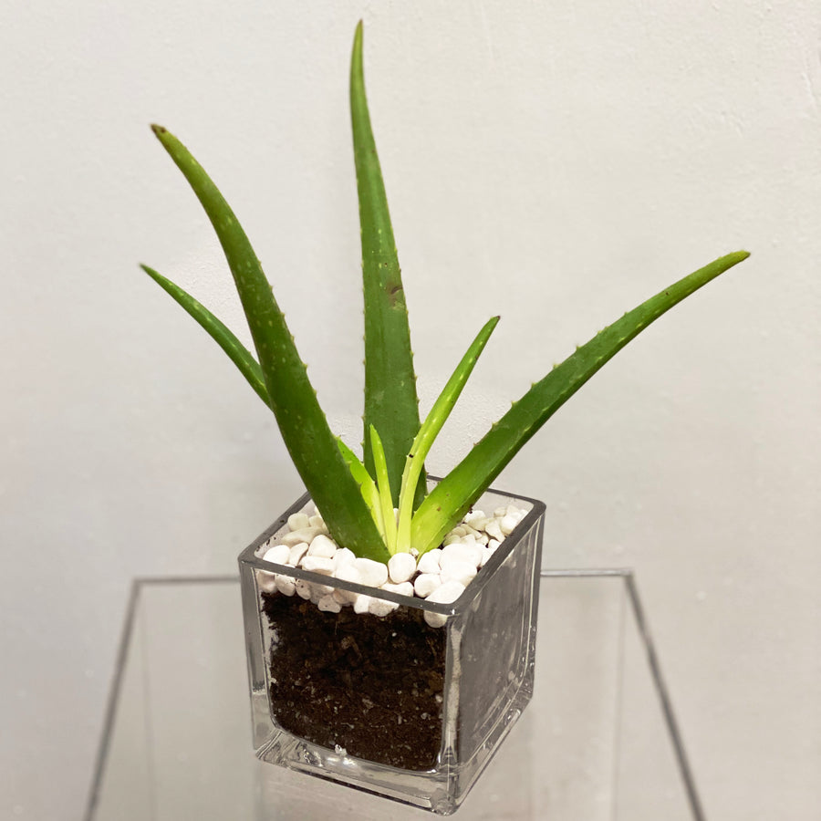 Potted Aloe | Cactus - Lizzie Bee's Flower Shoppe