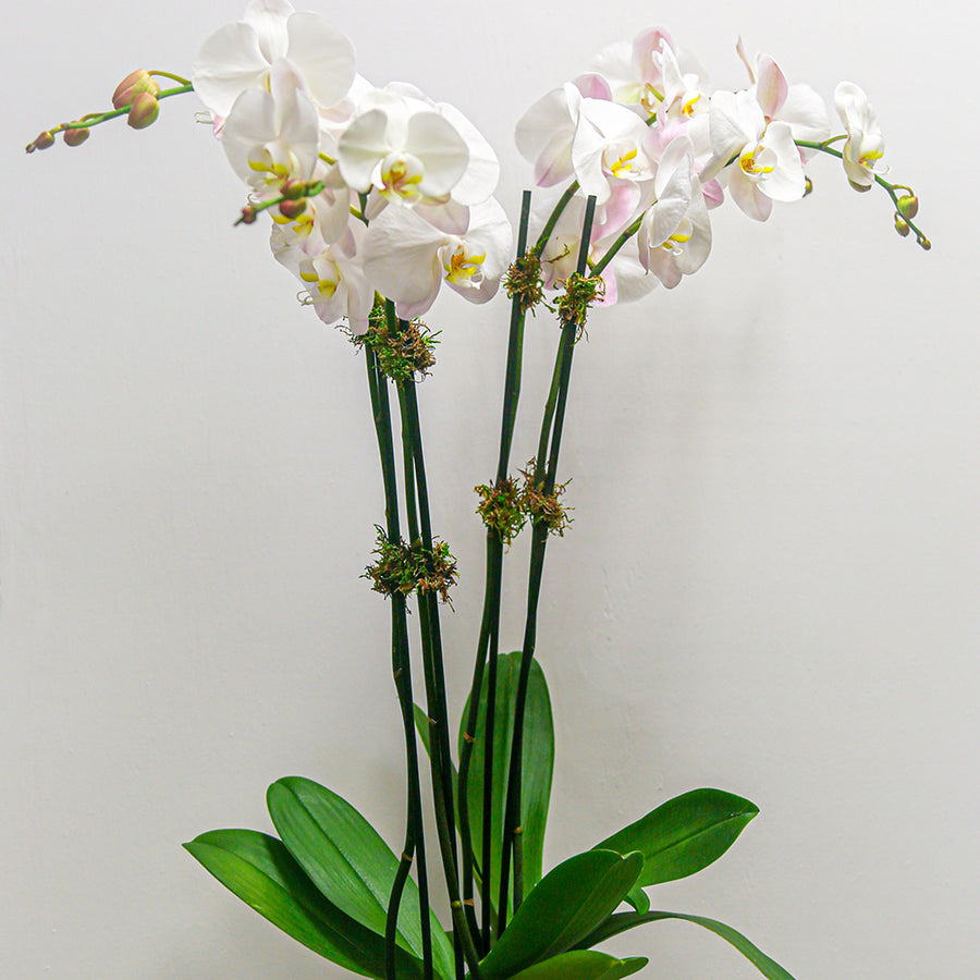 Double Stem Phalaenopsis Orchid Duo | Green Plant - Lizzie Bee's Flower Shoppe