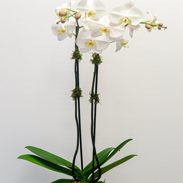 Double Stem Phalaenopsis Orchid | Green Plant - Lizzie Bee's Flower Shoppe