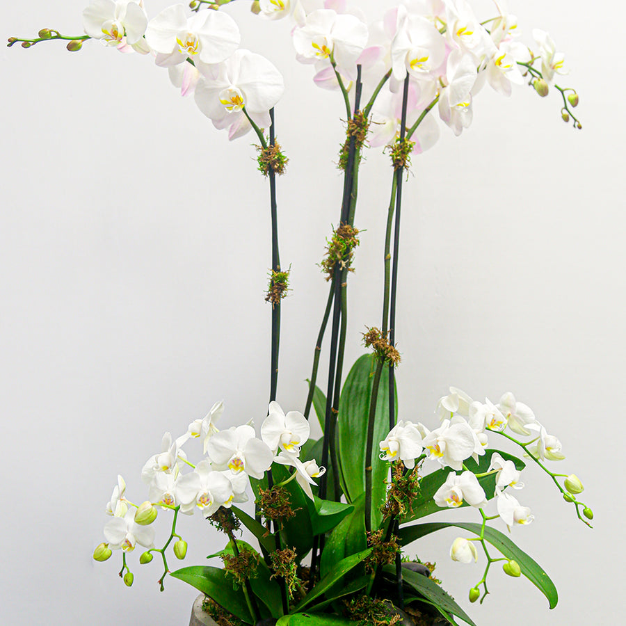 Mix Phalaenopsis Orchids (Tall & Mini) | Green Plant - Lizzie Bee's Flower Shoppe