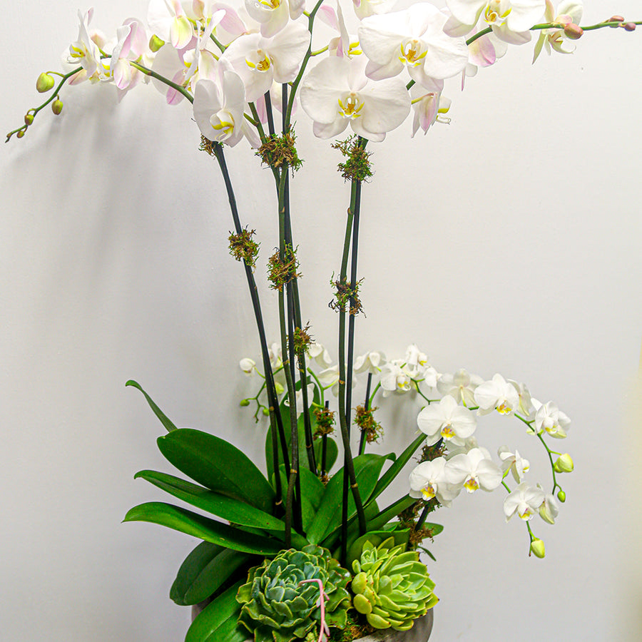 Waterfall Phalaenopsis Orchids (Tall & Mini) + Succulents | Local Plants - Lizzie Bee's Flower Shoppe