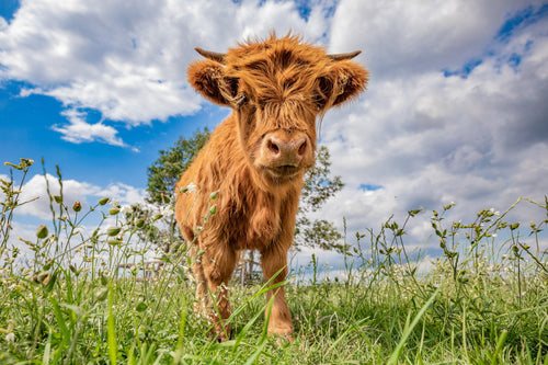 Highland cow jigsaw puzzle