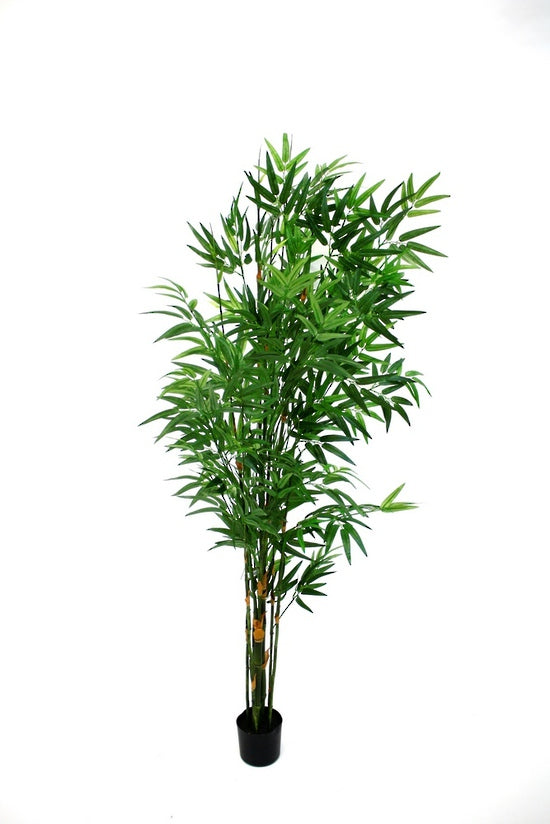 Potted Japanese Bamboo 1.5m