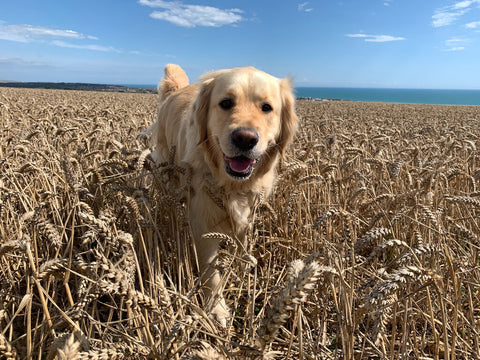 Dog in a field of grains