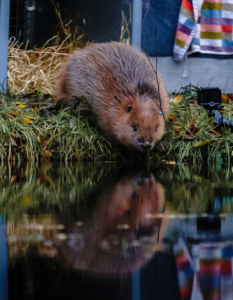 Cheshire Wildlife Trust - Bringing Beavers Back!