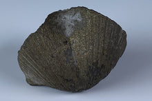 Load image into Gallery viewer, Pyritized Fossil from North Quarry-France Stone Co., Sylvania Township, Lucas Co., Ohio , USA