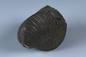 Pyritized Fossil from North Quarry-France Stone Co., Sylvania Township, Lucas Co., Ohio , USA