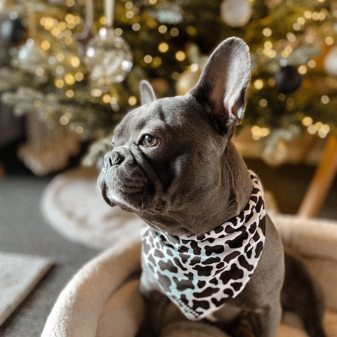 iamcooper frenchie dog in cocopup cow bandana christmas festive background