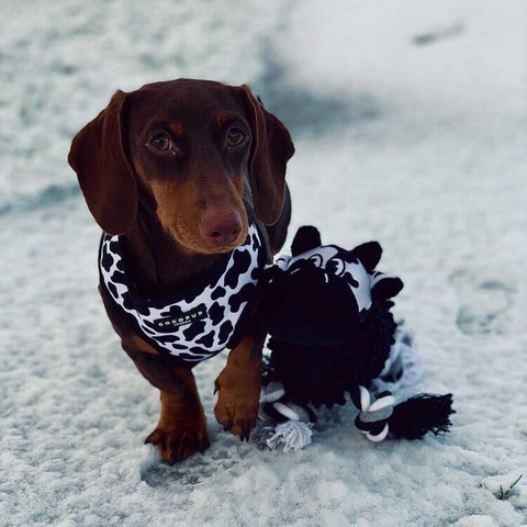 sausage dog in cocopup harness