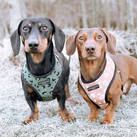 two sausage dogs in cocopup harnesses