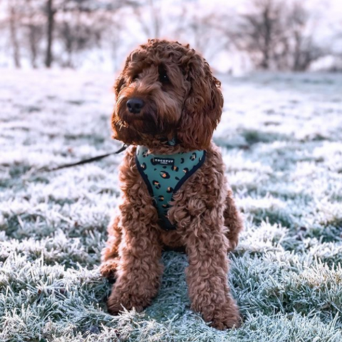 willow the cockapoo dog in cocopup london khaki leopard harness outside