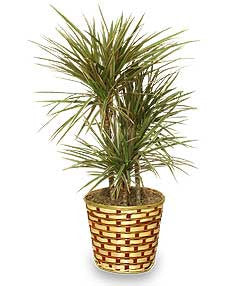 Red Margined Dracena Plant