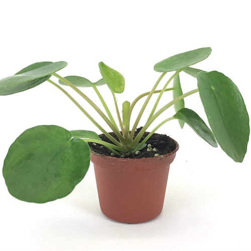 Pilea Peperemoides - Chinese Money Plant 120mm