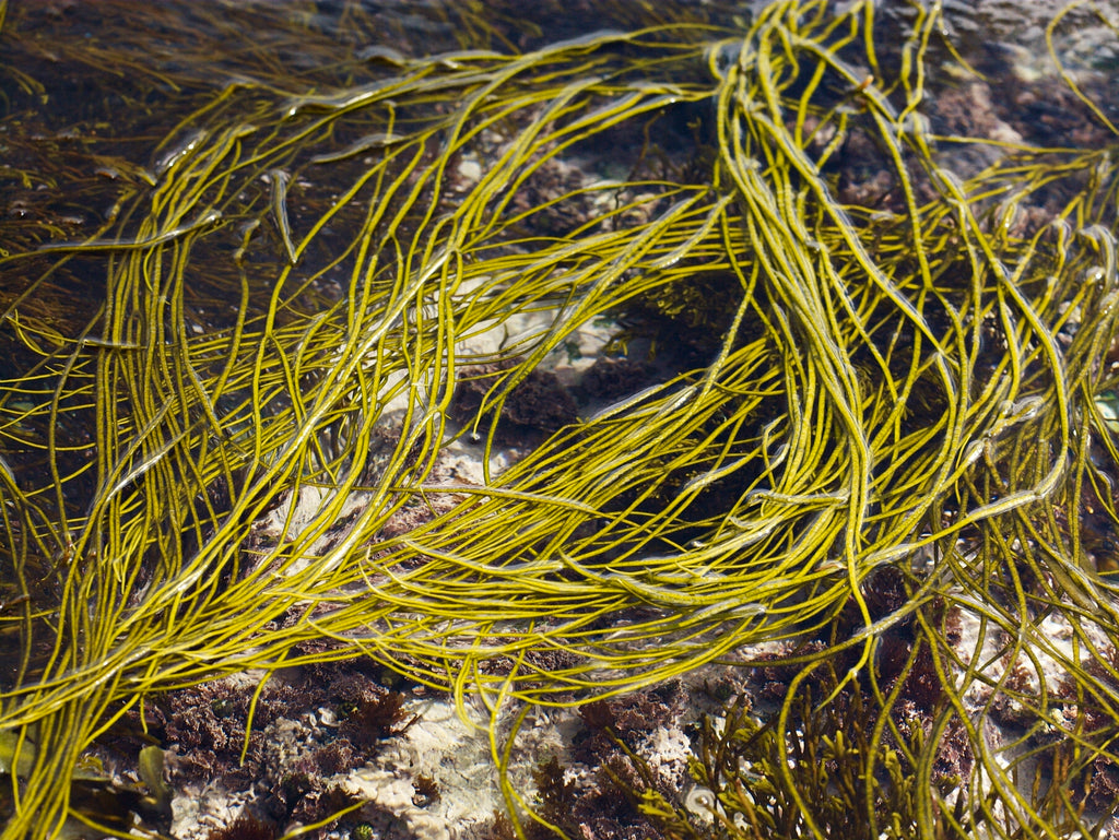 Sea spaghetti as a gluten free pasta alternative