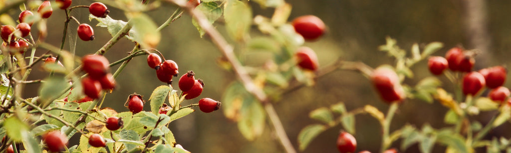 Benefits of Rosehip Oil for Skin
