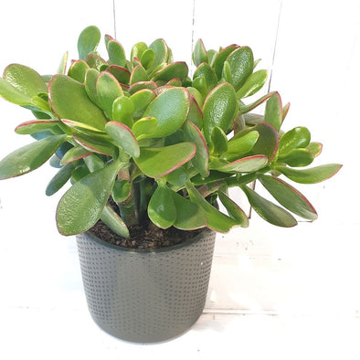 Money Plant - Crassula Ovata