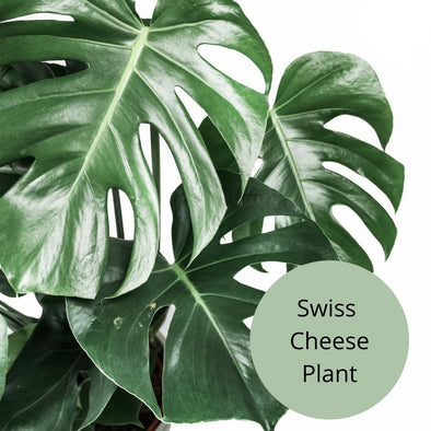 Swiss Cheese Plant