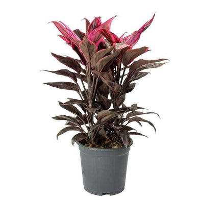 Good Luck Plant - Cordyline