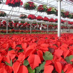 Poinsettia Plant UK