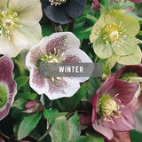 Helleborus winter British Flowers